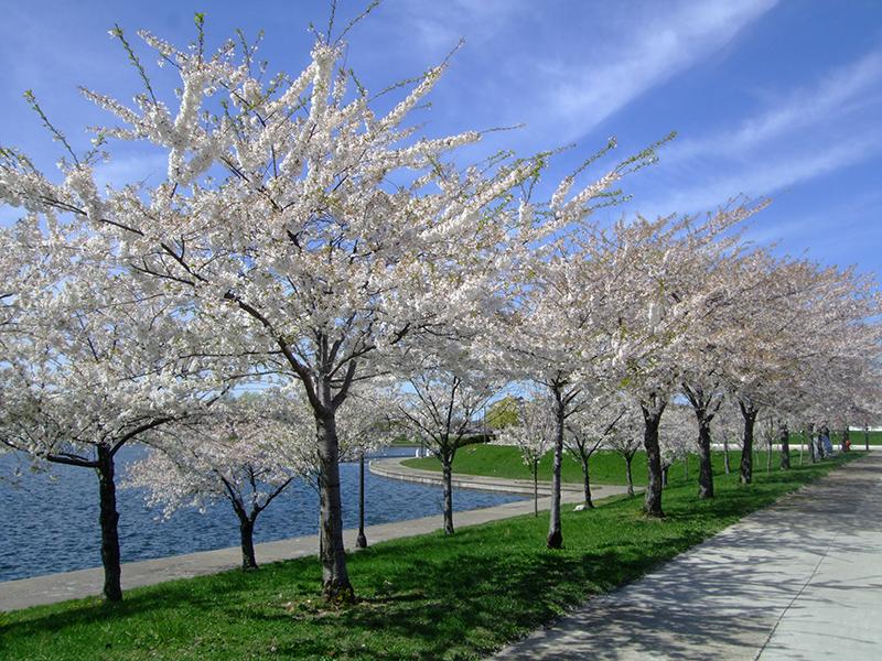 20周年を迎えるベルアイル(Belle Isle)の桜20周年を迎えるベルアイル(Belle Isle)の桜 2