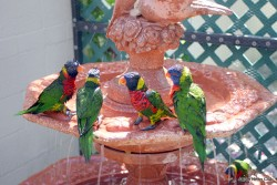 Butterfly World - Lorikeets in fountain